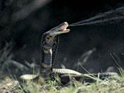 喷毒眼镜蛇
