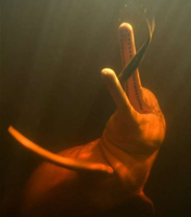 <a></a>River dolphin with 90&ordm; bended neck