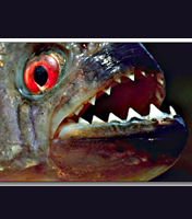 <a></a>Most feared red-bellied piranhas