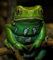 <a></a>Blue poison dart frog