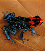 <a></a>Arrow-poison frog