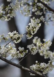 Yuyuantan Cherry Blossom Festival opens, Beijing