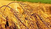 中储粮被指带头推高小麦价格<br>内部人士称有点冤