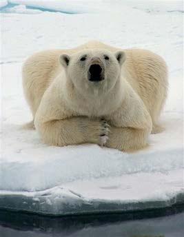 北极熊是很可爱的动物