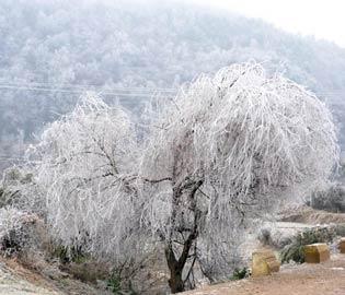 """树上的""""冰挂"""" br> br>"""