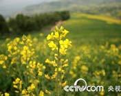 青海美丽的油菜花