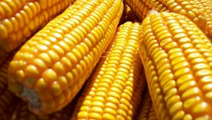 种业乱象:十年育种 一根玉米棒可盗之