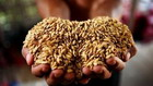 种业出口政策酝酿放松 行业再迎利好政策