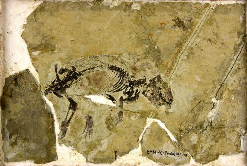 中国辽宁首次发现侏罗纪多瘤齿兽类哺乳动物