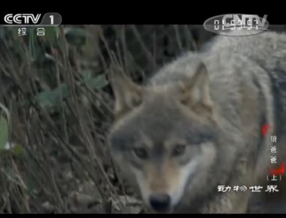 《动物世界》 狼爸爸(上)