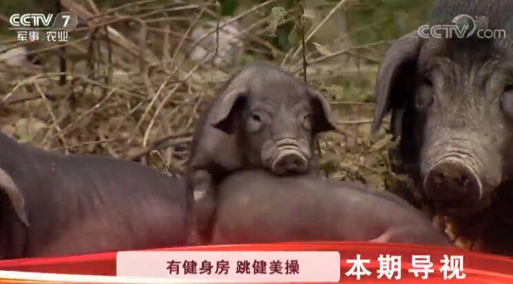 [科技苑]瘦身又美肤 养出俏香猪 20190304
