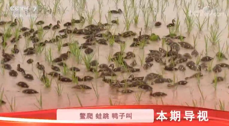 [科技苑]两米巨型稻 稻下真热闹 20190321