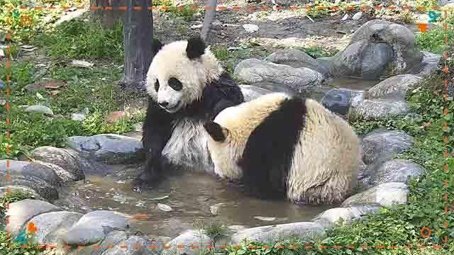 大熊猫越狱_iPanda熊猫频道_熊猫频道