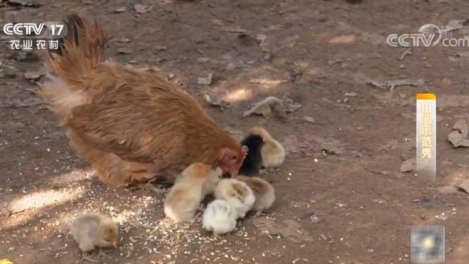 《田间示范秀》 20200107 茶林养鸡的那些事儿