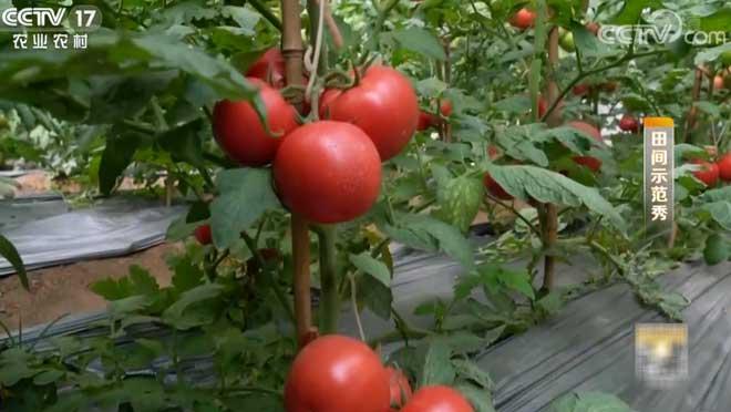 《田间示范秀》 20200108 营救黄头的番茄
