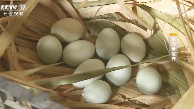 《田间示范秀》 20200118 让绿壳蛋鸡产好蛋