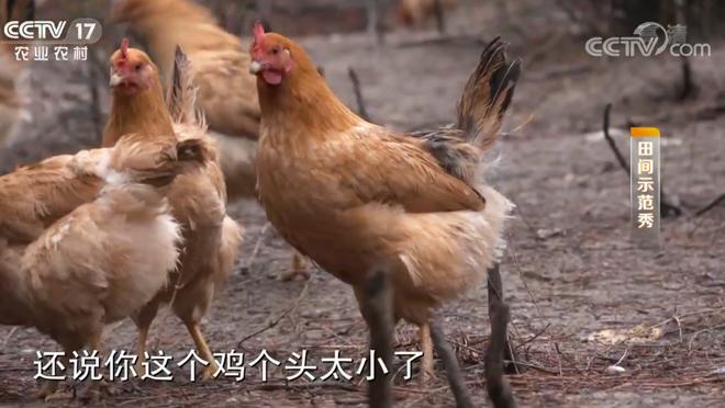 《田间示范秀》 20200422 大别山深处的土鸡场