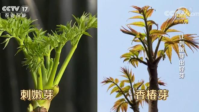 《田间示范秀》 20200606 让刺嫩芽出好芽