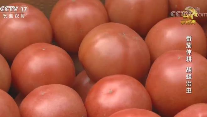《田间示范秀》 20200608 番茄休耕 胡蜂治虫