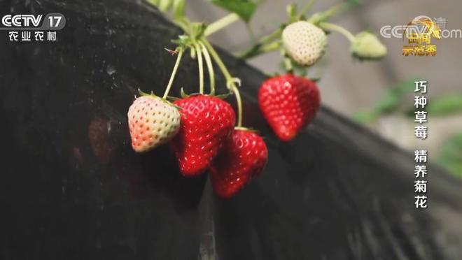 《田间示范秀》 20200609 巧种草莓 精养菊花