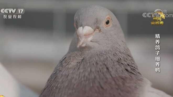 《田间示范秀》 20200715 精养鸽子细养鸭