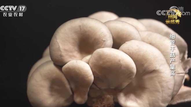 《田间示范秀》 20200725 细管平菇产量高