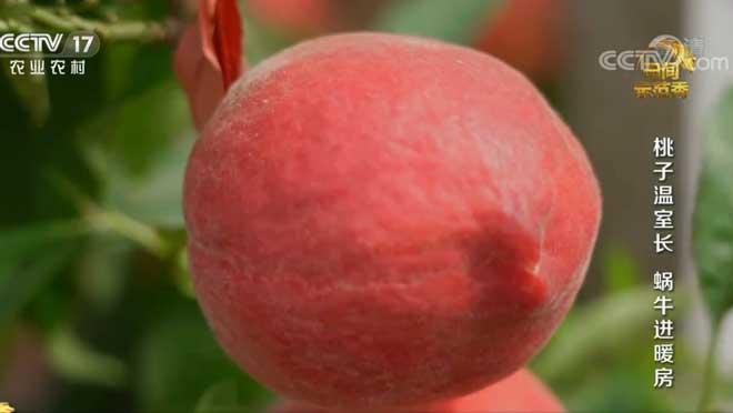 《田间示范秀》 20200831 桃子温室长 蜗牛进暖房