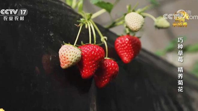 《田间示范秀》 20200901 巧种草莓 精养菊花