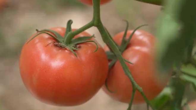 《田间示范秀》 20210329 西红柿棚里的新希望