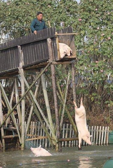村民赶猪跳水称提高猪肉品质 价钱可涨三倍(图)