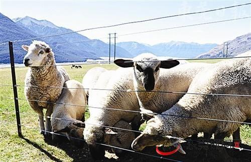 随处可以看到肥硕的羊只在悠闲地吃草,一派田园牧歌景象