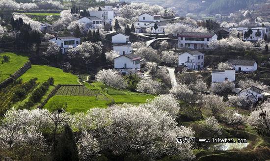 这里的樱桃花房前屋后开满整个山坡 作者:范赛尔