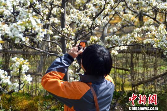 游客驻足梨树下拍照留影。