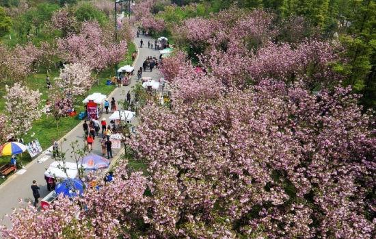 凤凰湖樱花大道樱花怒放。