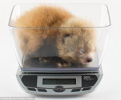 动物园为小熊猫宝宝称体重