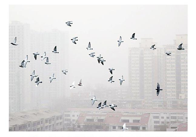 2013年2月28日,鸽子在北京雾霾中飞行。当日,北京遭遇严重的雾霾天气,北京市气象台发布霾黄色预警、大风蓝色预警信号
