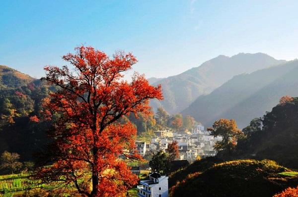 群山怀抱中的红枫树