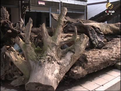 原料集散地收回购的金丝楠木原料