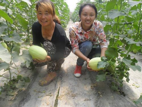 大学生村官正在大棚帮助村民采摘甜瓜
