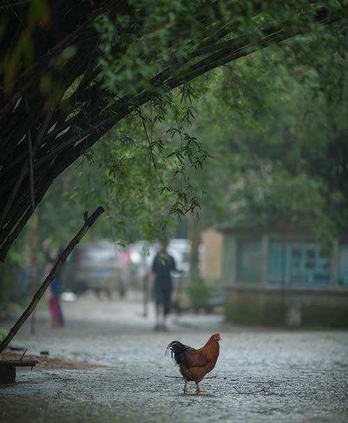 竹林上鸟巢无数,下面家鸡成群