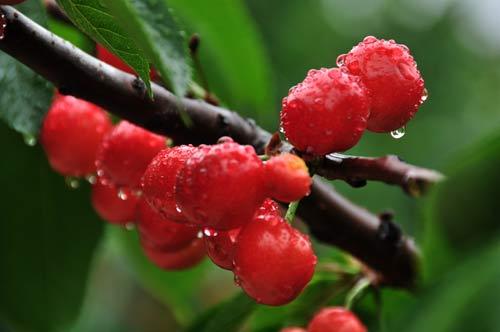 樱桃红了果农的梦