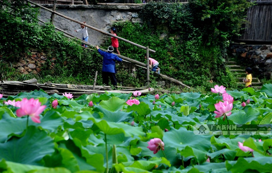 高清:广西赏荷新去处 三江和里村娇艳红荷映侗寨
