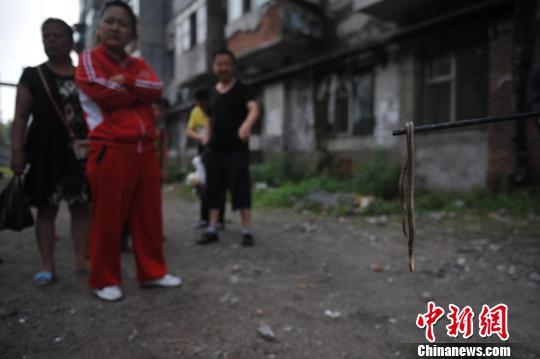 吉林市船营区长春路街道繁荣社区所辖的157号楼道里,突然有大量蛇出没