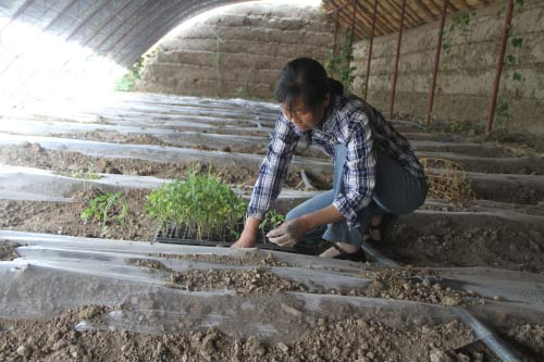 职工群众在辛勤栽种西红柿苗圃