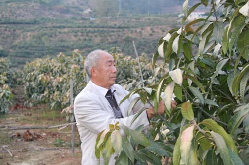 冯国顺在芒果地里修剪枝叶
