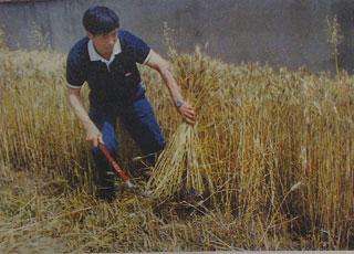 沈浩帮助村民收割小麦。