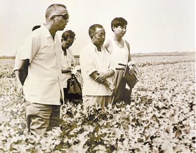 1983年8月,为了让农民增收,时任正定县委副书记习近平(右一)到河间县考察棉花生产。(资料图片)