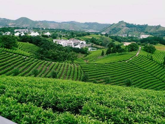 黄杜村国家级生态白茶基地。