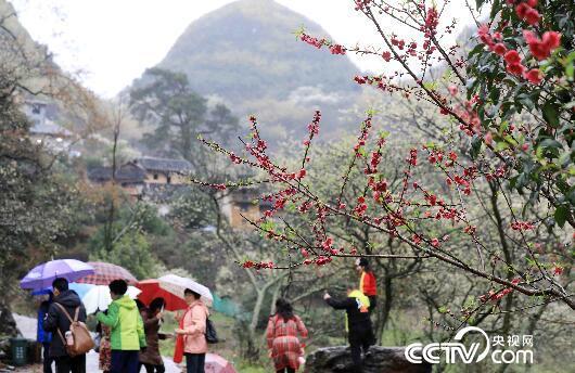 游客在广西柳州市融安县东起乡铜板屯踏青赏花。(谭凯兴 摄)