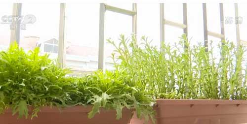 山东青岛:盆栽蔬菜品种单一 利润空间亟待开发